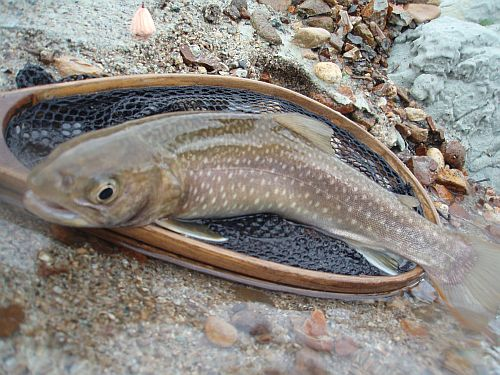 濁流から探り当てた、尺岩魚