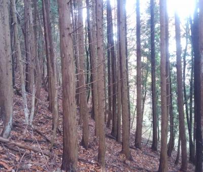 杉木立の斜面を行く