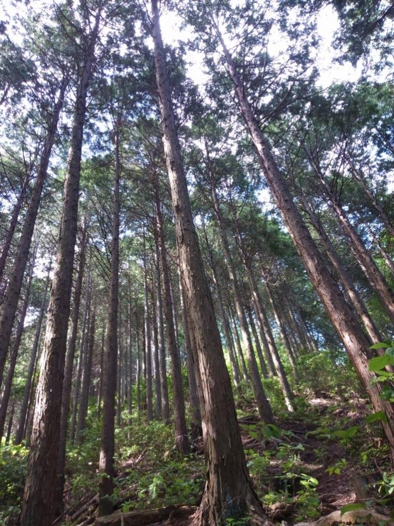急傾斜の杉木立