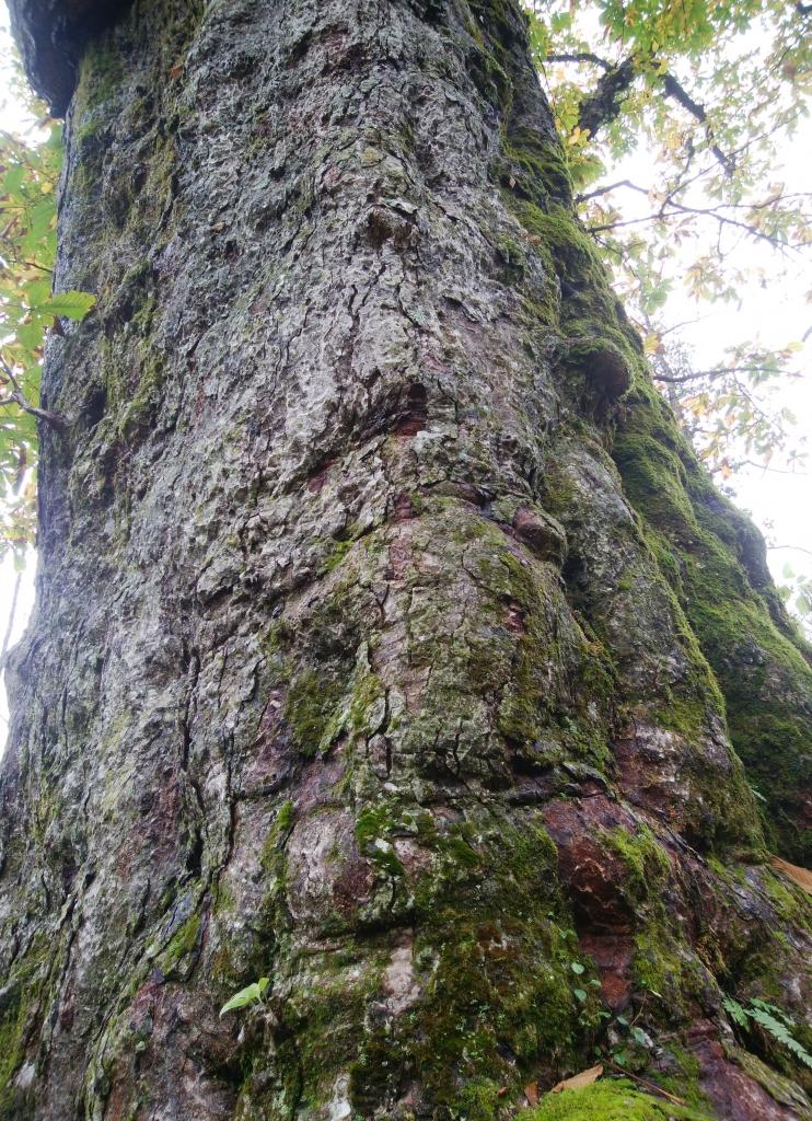 立派な木肌