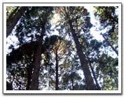 木曽東濃檜から我が家の大黒柱を選ぼう