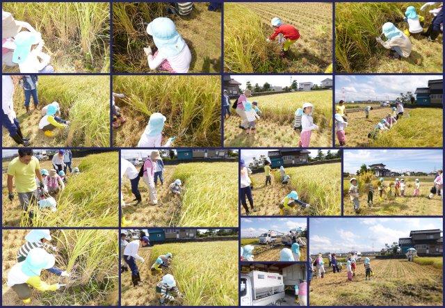 2017稲刈り