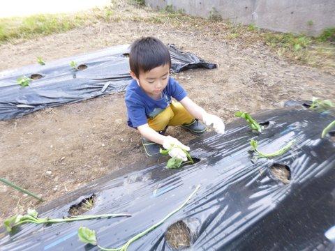2019芋の苗植え