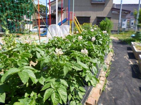 2020ジャガイモの花