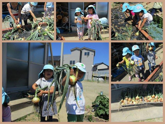 2020玉ねぎ収穫