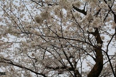 大寧寺_桜