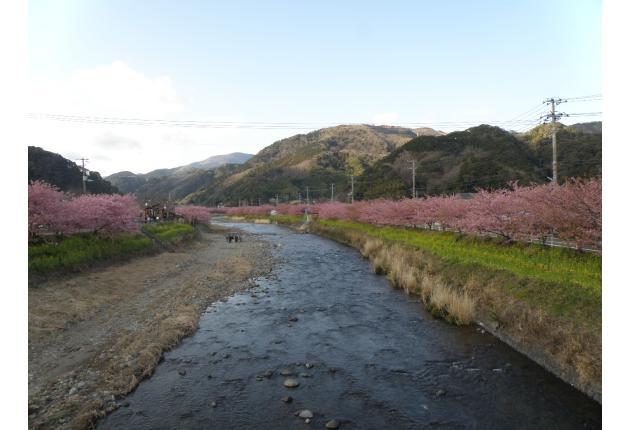 少し上流の河津桜