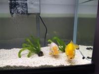 金魚の引越し