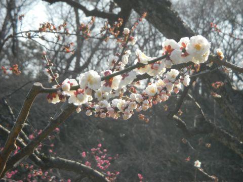 大倉山 観梅会4