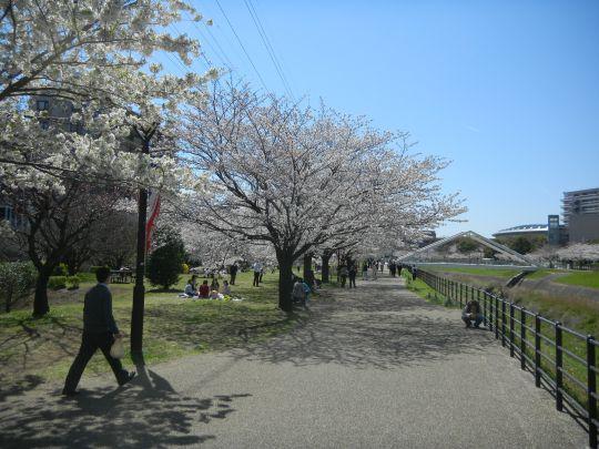 新横浜駅前公園桜1