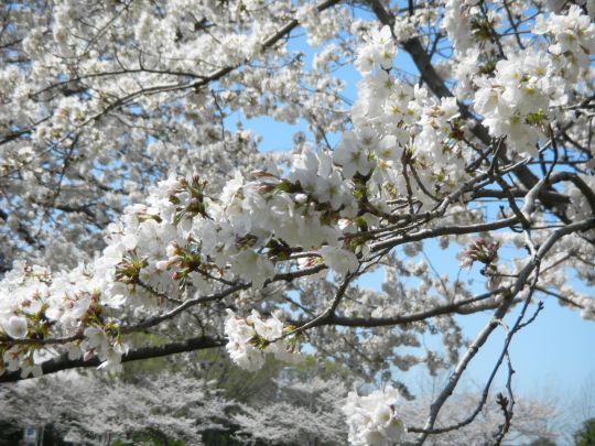 新横浜駅前公園桜2