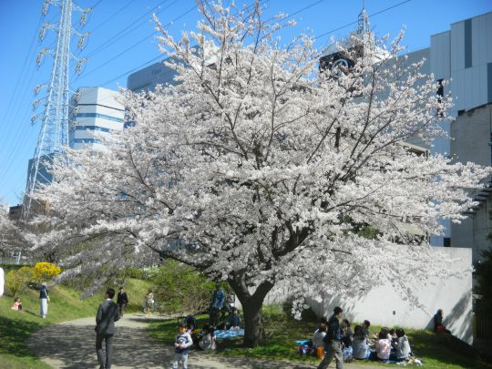 新横浜駅前公園桜3