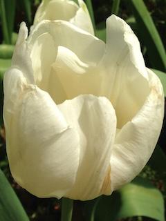 朽ちかけた花