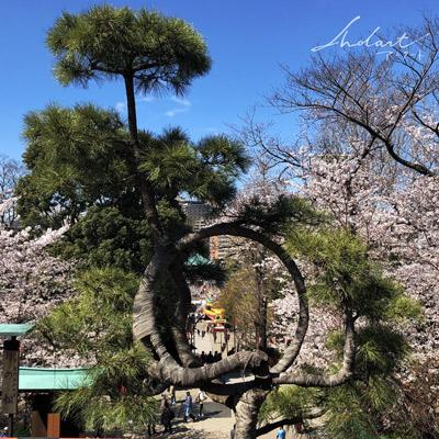 上野公園の桜と松