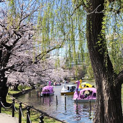 上野公園の桜と柳 スワンボート