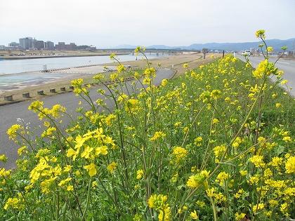 小森野堰の菜の花