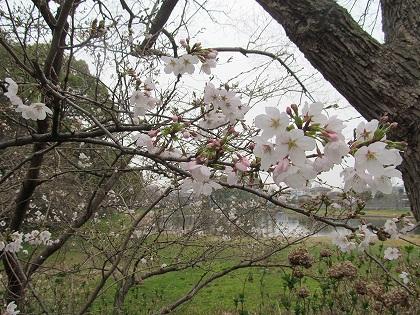 刈原池の桜咲く