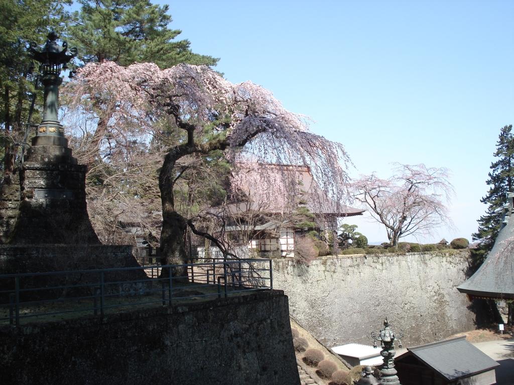 妙義神社 枝垂れ桜