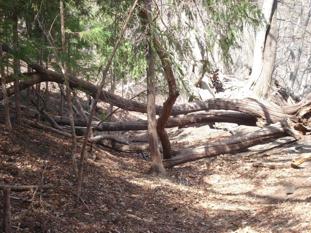 山道2 倒木