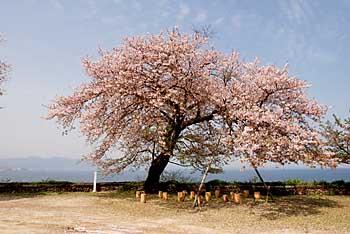 両郡橋の桜