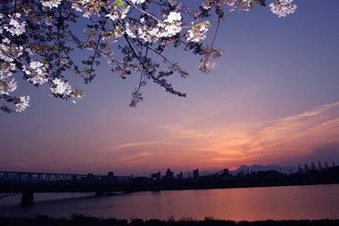 夕暮れの桜と鶴見岳