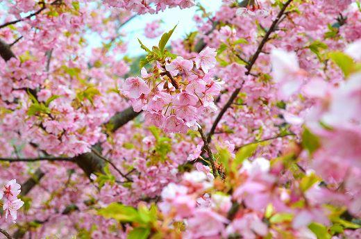 津久見 河津桜