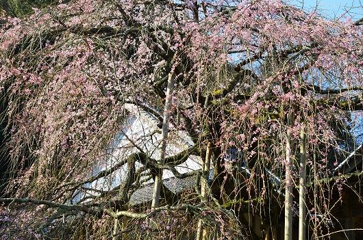西照寺のしだれ桜