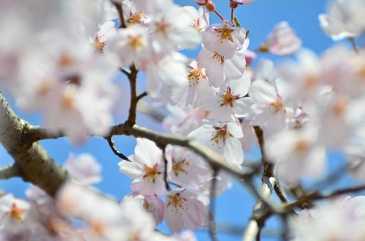 深泉寺 枝垂れ桜