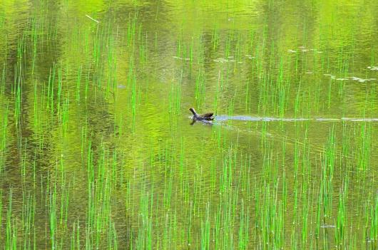 神楽女湖 菖蒲