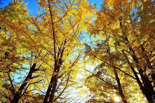 阿蘇神社 銀杏 紅葉