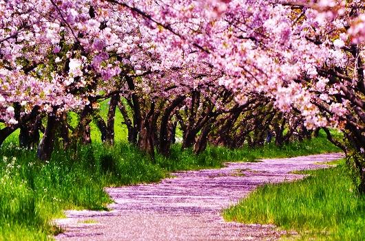大分川 桜並木
