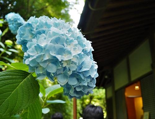 鎌倉あじさい明月院23.jpg
