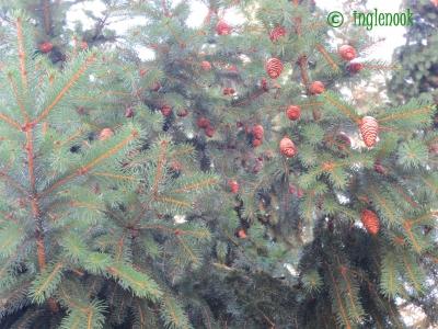 インスブルック郊インスブルック郊外 細長い松ぼっくりがなる木