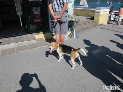 日差しがまぶしい犬 オーストリア ザルツカンマーグート