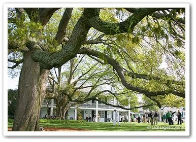 クラブハウス前にある巨大な木
