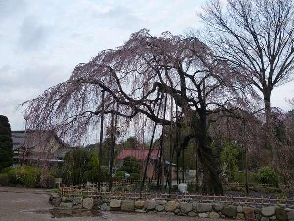 清瀧院のしだれ桜はほぼ終わり(;_;)
