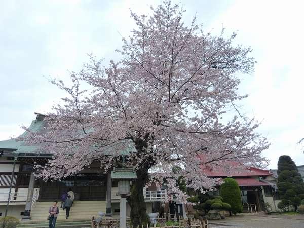 清瀧院普通の桜は満開