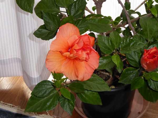 ハイビスカスが咲きました