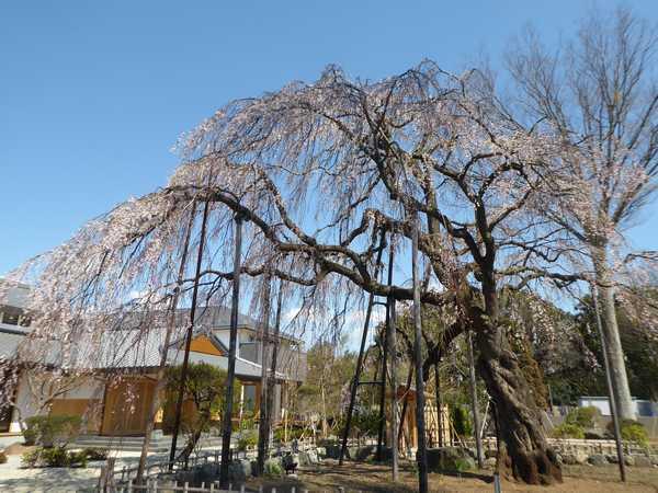 清瀧院の枝垂(しだれ)桜 3分咲
