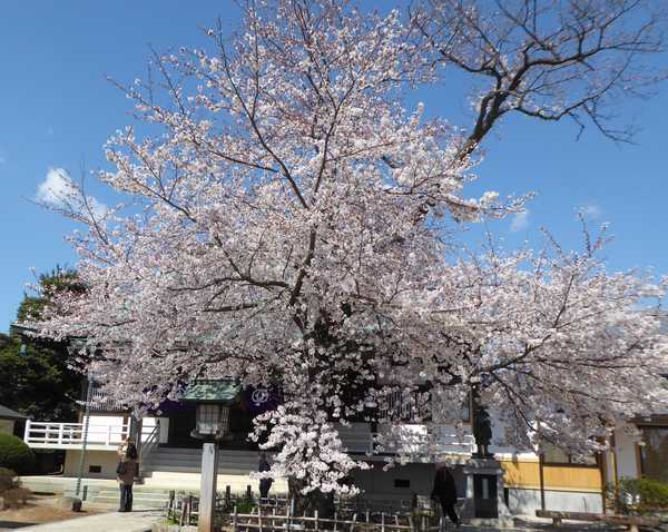 清瀧院のソメイヨシノ満開