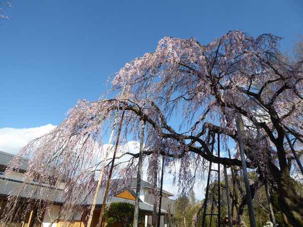 清瀧院枝垂桜