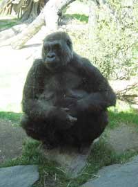 ニューヨークのブロンクス動物園のゴリラ君