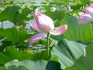 瓢湖の蓮3