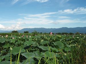 瓢湖(ひょうこ)の蓮