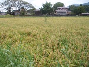 有機栽培米の田圃2