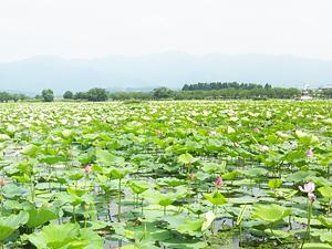 2012瓢湖の蓮の花
