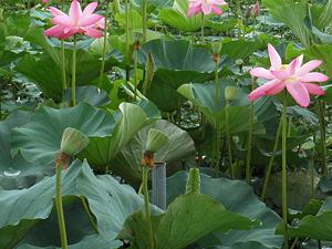 2013瓢湖の蓮の花