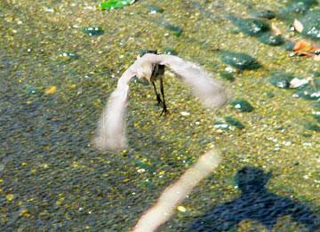 キセキレイ幼鳥06年7月4日b