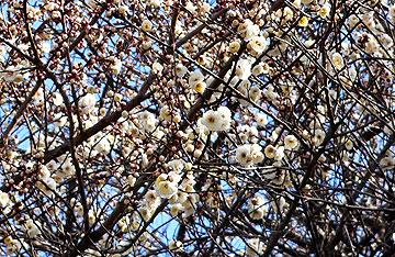 きれいに花開いた白梅08年2月17日
