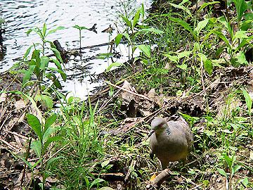 水路で餌を探すキジバト09年7月25日